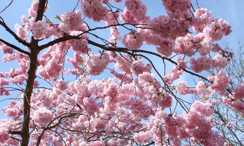 De flotte træer i kirsebær haven i København